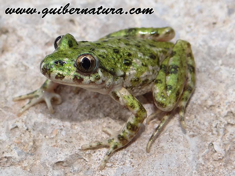 Gripauet (Pelodytes punctatus)