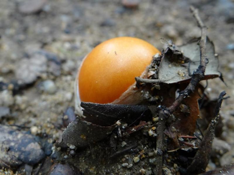 L'ou de reig, en la seva primera fase
